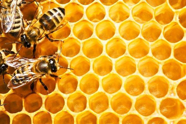 jnjnvk - Пчелы и математика: являются ли данные насекомые математически одаренными?