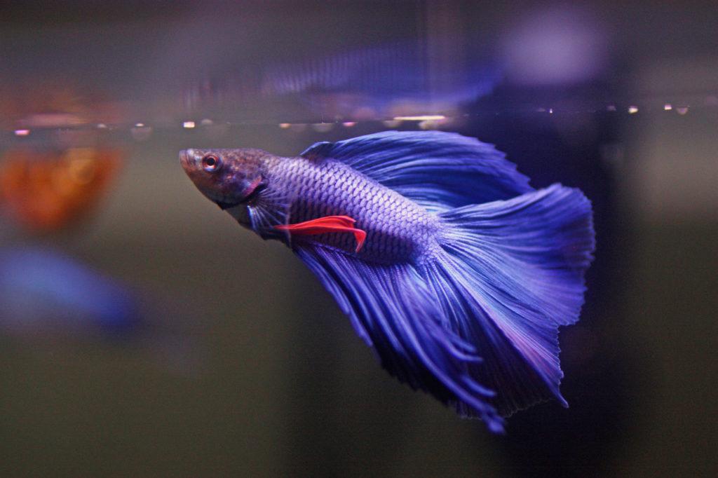 petushok vualevyj sinij 2 1024x682 - Как перевезти аквариум зимой