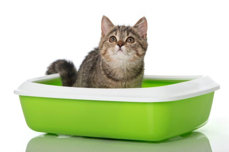 ExternalLink shutterstock 376818502 730x487 - Как приучить кота к лотку быстро и без хлопот