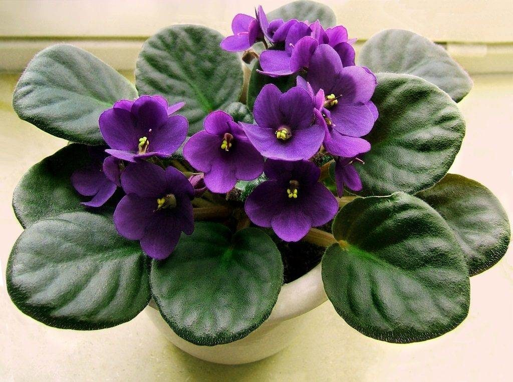Fialka domashnyaya senpoliya foto 1024x763 1 1024x763 - Уход за комнатными растениями в домашних условиях