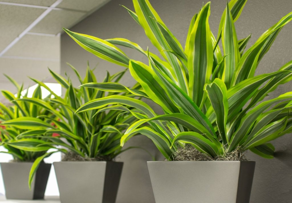 Krasivoe rastenie dratsena 1 1024x712 - Уход за комнатными растениями в домашних условиях
