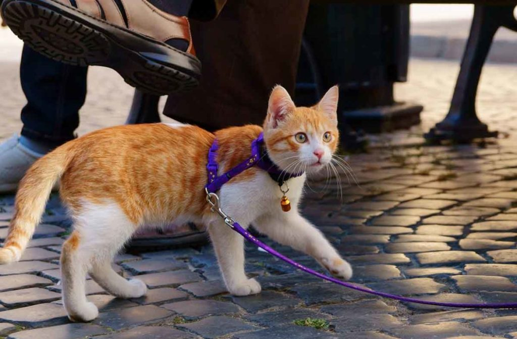 kakuyu shleiku vybrat dlya koshki 1170x767 1024x671 - Как перевезти кота на дальнее расстояние?