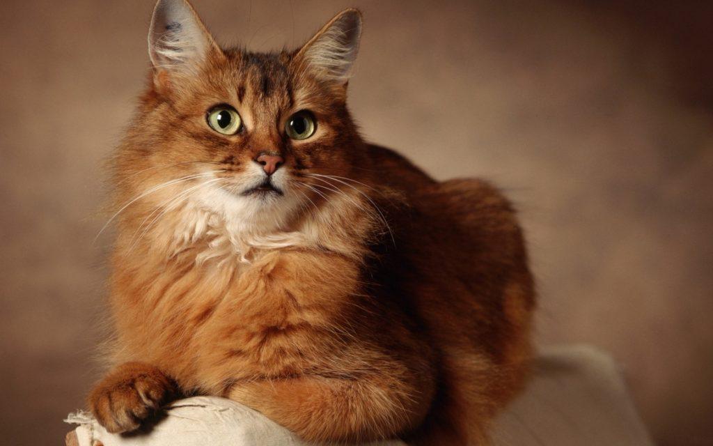 ryzhiy kot 25 14045404 1024x640 - Как приучить кота к лотку быстро и без хлопот