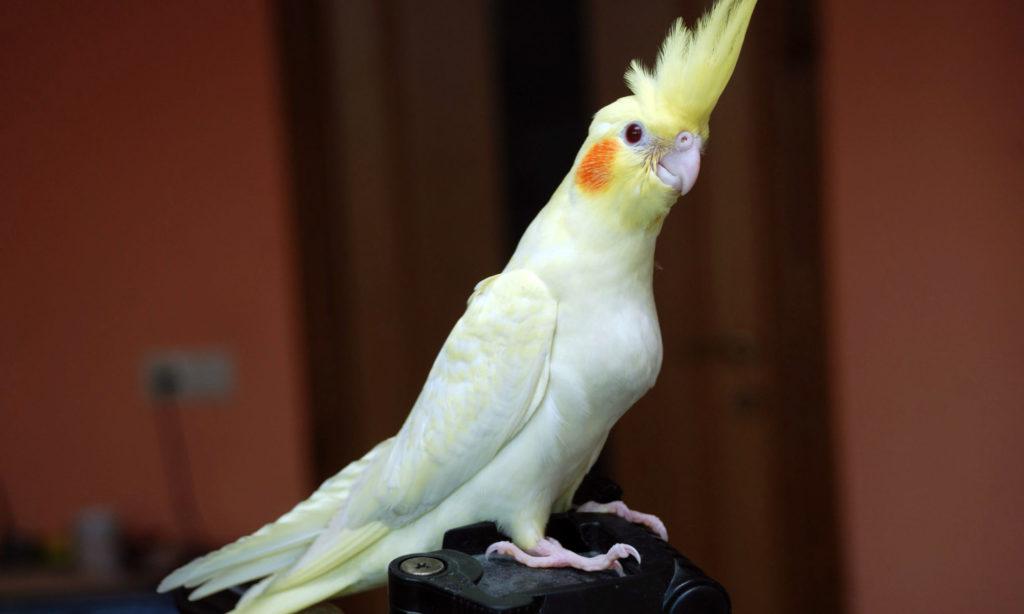 1 11 2000x1200 1024x614 - Как ухаживать за попугаем