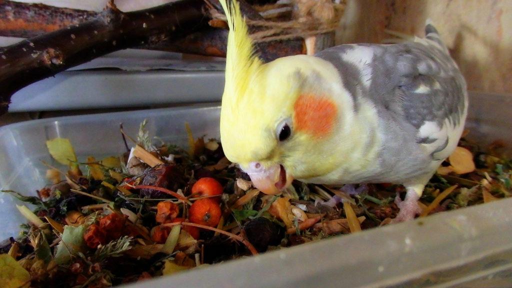 153755219414174603 1024x576 - Как ухаживать за попугаями корелла в домашних условиях