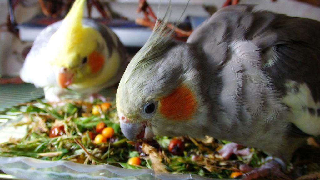 154980281417534358 1024x576 - Как ухаживать за попугаями корелла в домашних условиях