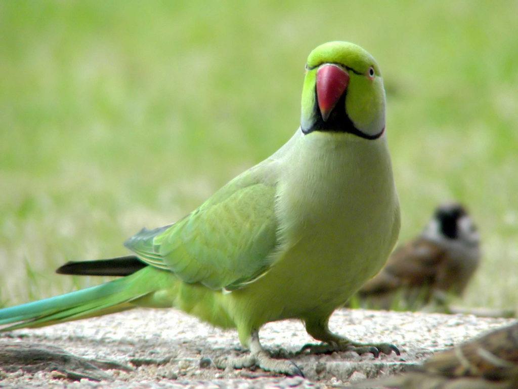 2431 1024x768 - Как ухаживать за попугаем