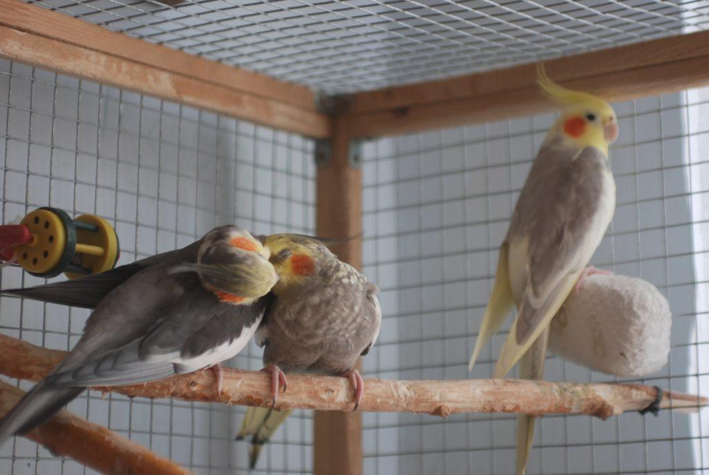 g0Ft  dCquM 1024x686 - Как ухаживать за попугаями корелла в домашних условиях