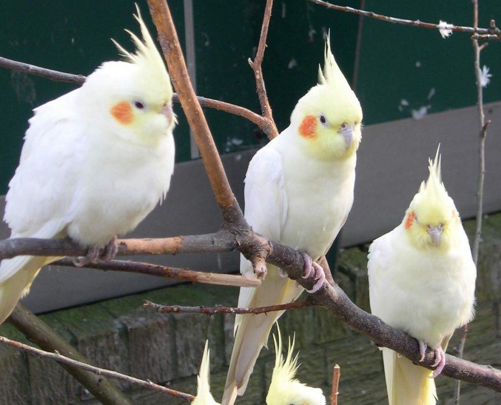 opisanie sreda obitanija i foto popugaja korelly animalreader.ru 002 1024x828 1024x828 - Как ухаживать за попугаями корелла в домашних условиях