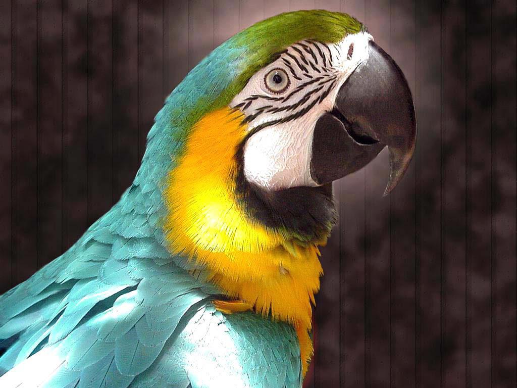 popugaj ara 1024x768 - Как ухаживать за попугаем