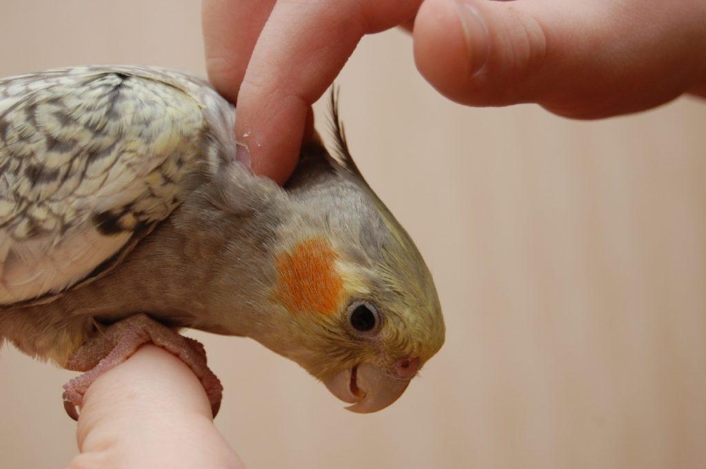 popugay korella 2 1024x680 - Как ухаживать за попугаями корелла в домашних условиях