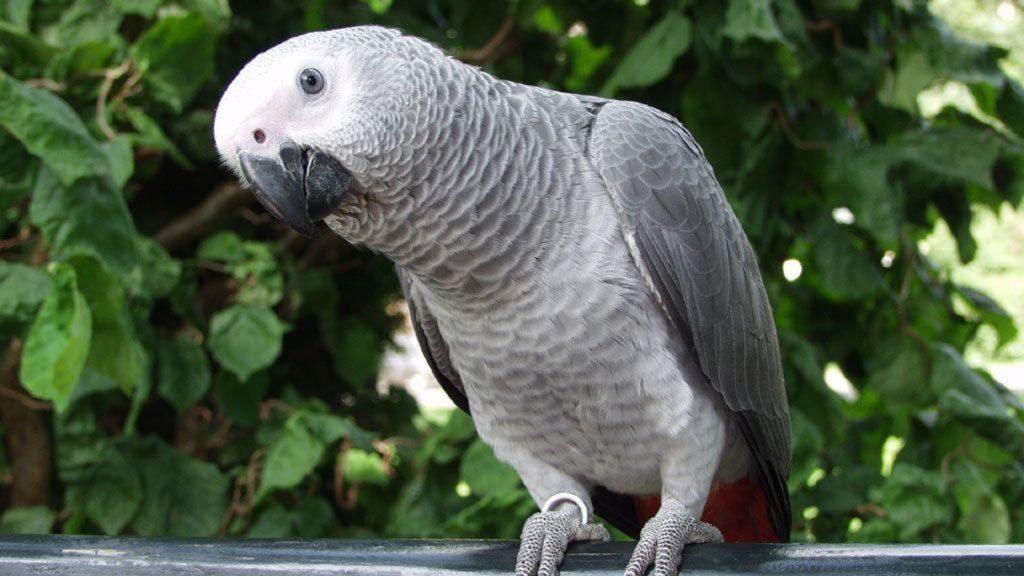 prodolzhitelnost zhizni popugaya zhako 1024x576 - Как ухаживать за попугаем