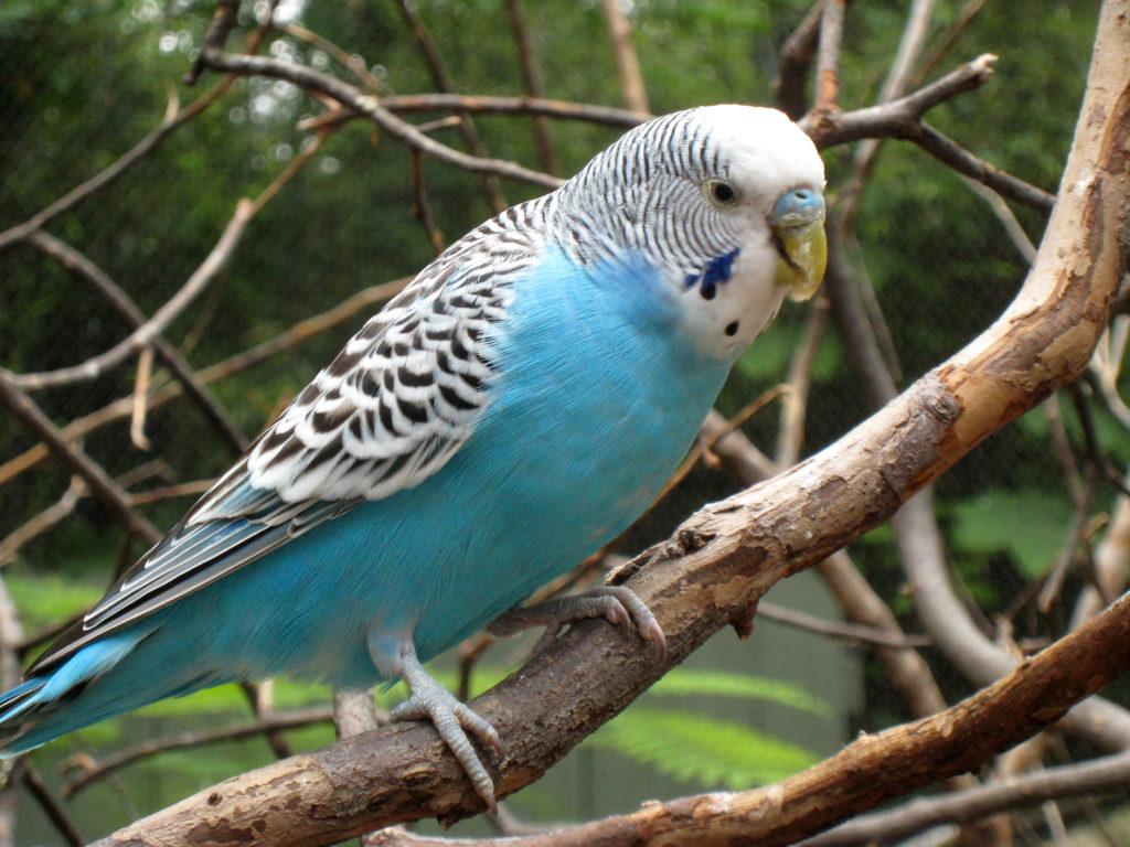 volnistyi1 1024x768 - Как ухаживать за попугаем
