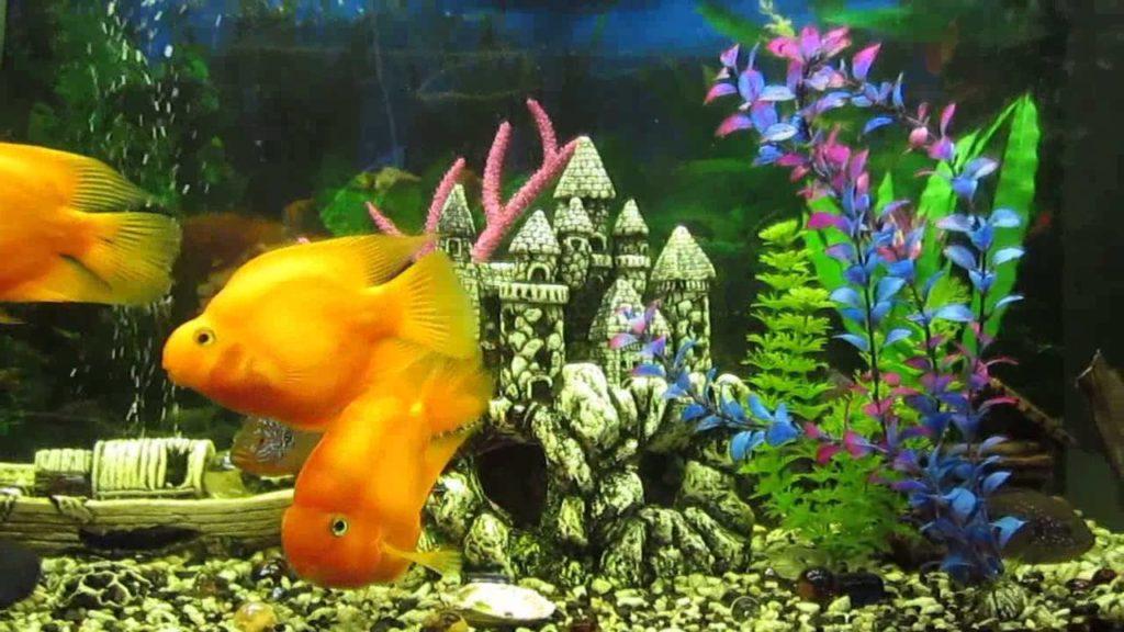 maxresdefault 1 1 1024x576 - Рыбки-попугаи уход и содержание