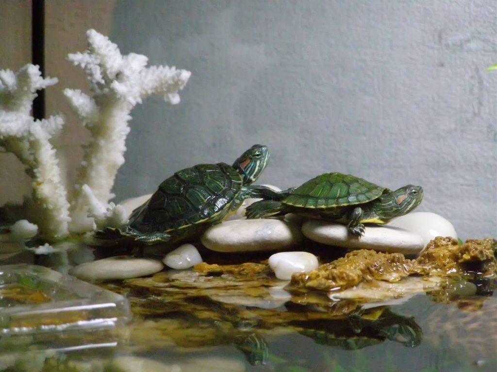 1444383072561789604c158 1024x768 - Как ухаживать за черепахой
