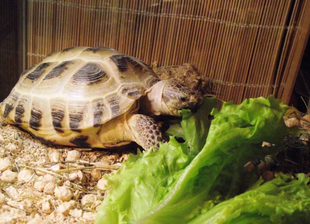 orig 1 1024x740 - Как ухаживать за черепахой