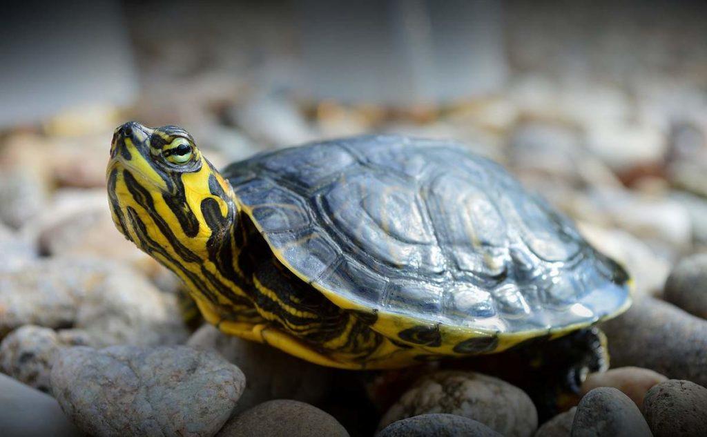 presnovodnye domashnie cherepahi i ih zhizn v terrariume animalreader.ru 002 1024x633 - Как ухаживать за черепахой