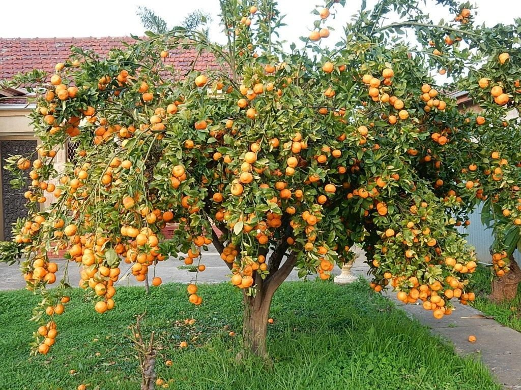 mandarin tree 06 1024x768 - Все о мандаринах